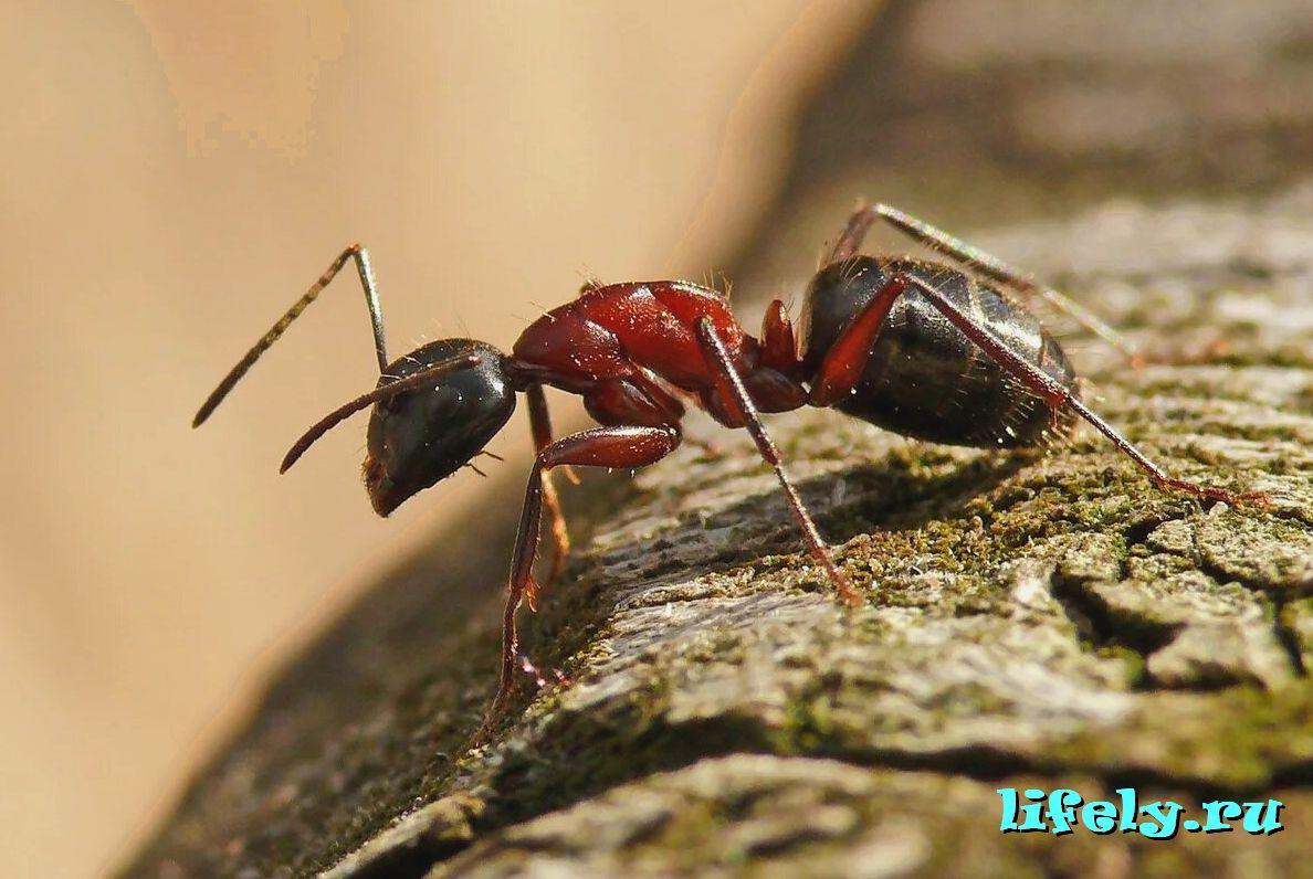 опасны ли муравьи